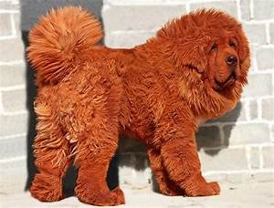 The World's Most Expensive Dog Breeds - Telegraph