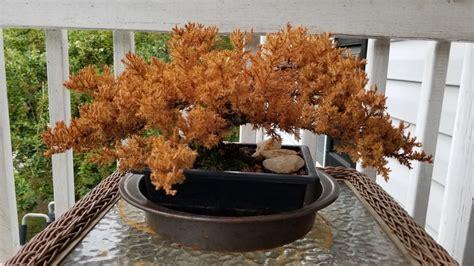 juniper bonsai turned brown bonsai forum bonsai empire