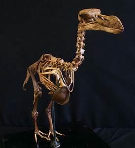 Dodo Bird Skeleton   www.pixshark.com - Images Galleries ...
