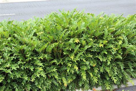 Philodendron Xanadu  Plant Profile  Oxley Nursery, Brisbane