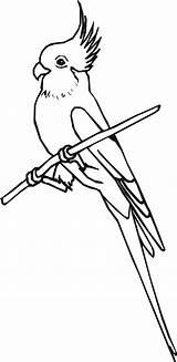 Cockatiel Coloring Pages Drawing Designlooter Bird Drawings 53kb 2500 Getdrawings sketch template