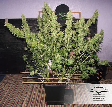 autoxtreme graines de cannabis autofloraison achat s 233 curis 233 chez