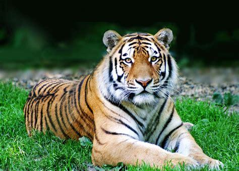 chinesisches sternzeichen tiger tierkreiszeichen