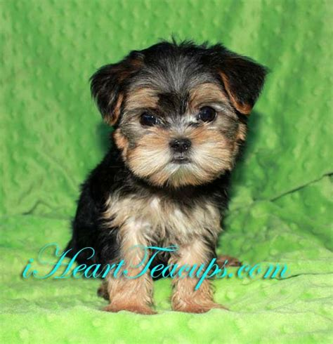 Images Of Teacup Morkie Adults Golfclub