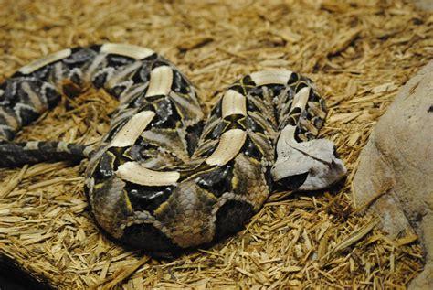 Venomous Gaboon Viper