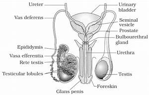 NCERT Solutions for Class 12th: Ch 3 Human Reproduction ...