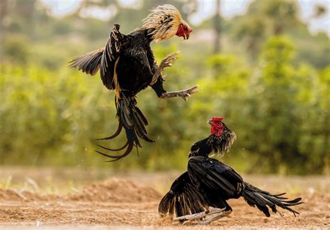 .cup, central coast roosters women's premiership and sydney roosters jersey flegg sides. The Magnificent Photographs of Roosters During Fighting Looking so good