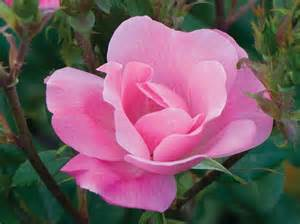 Double Pink Knockout Rose