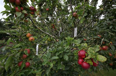 250 varieties of apple on one tree... thanks to a bit of ...