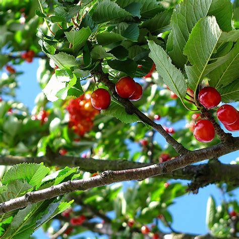 Kirschbaum Im Garten Pflanzen Und Ganzjährig Pflegen Bei