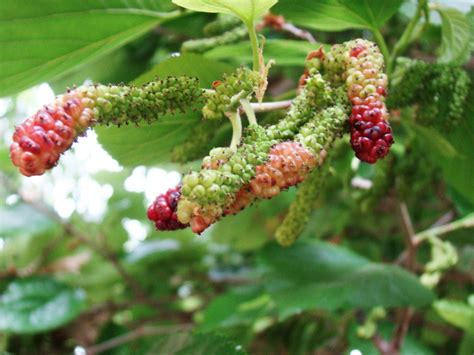 mulberry tree no fruit mulberry fruit and plant