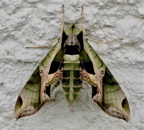 Pandora Sphinx Moth by Browncat