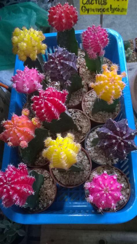 แคคตัส ยิมโนหัวสี (Cactus Gymnocalycium) | ดอกไม้, ภาพวาด
