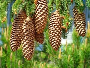 golden pine cones prints pine trees baslee troutman by baslee troutman prints