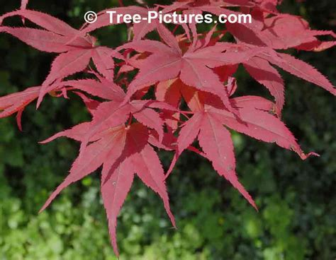 maple leaves japan japanese maple pictures images photos facts on japanese maple trees