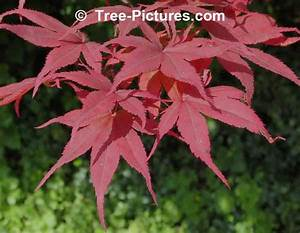 Japanese Maple, Pictures, Images, Photos & Facts on ...