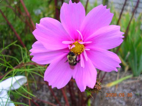 cosmos flower cosmos how to plant grow and care for cosmos the old farmer s almanac