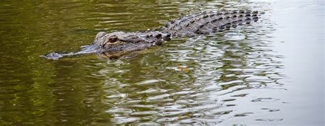 Airboat Alligator Tour by Florida Airboat Rides At Gator Park Everglades Airboat