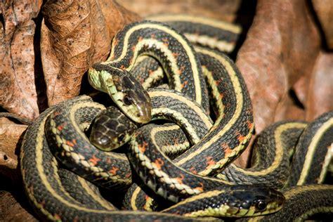 TIME for Kids   Social Snakes