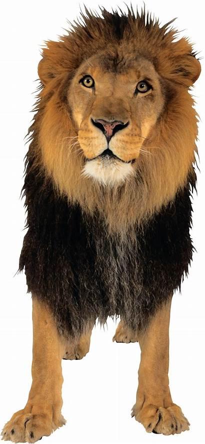 Lion Pngimg Lions Animals Web