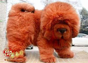 37 best TIBETAN MASTIFFS images on Pinterest | Mastiff ...