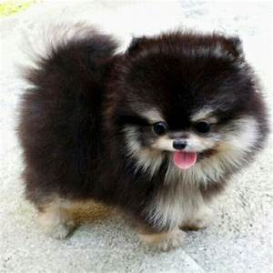 125 best images about Pomeranians on Pinterest | Puppys ...