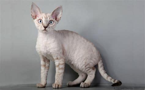 Devon Rex Cat Breed  Cat Breeds Of The World