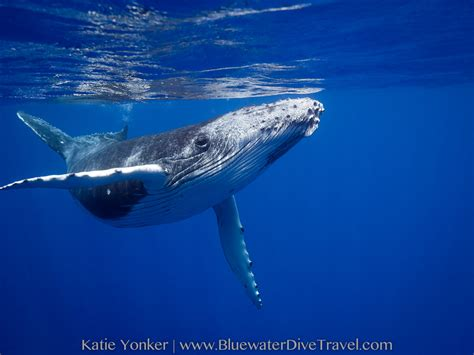 Best Hd Whale Photo by Moorea Humpback Whale Trip Report Sep 2017 Bluewater