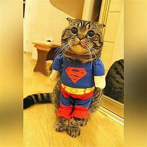 Superman | Cat, Animal and Funny animal