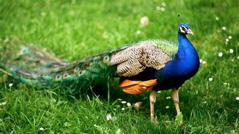 Bird Peacock Wallpaper Hd Wallpapers