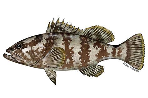 grouper nassau species range protected status threatened