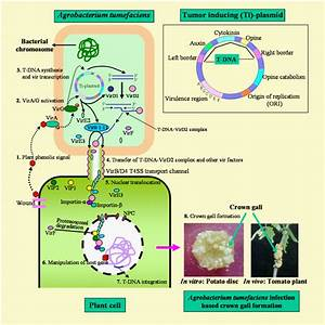 Mechanisms Of A  Tumefaciens Mediated Gene Transformation To Plant Cell