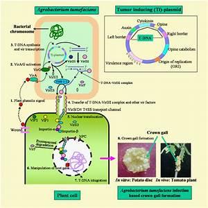 Mechanisms Of A  Tumefaciens Mediated Gene Transformation