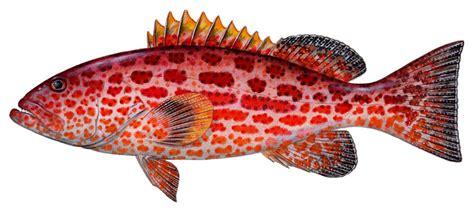 grouper yellowfin fish weakfish sharkbait croaker silver bright sea atlantic spotted spot