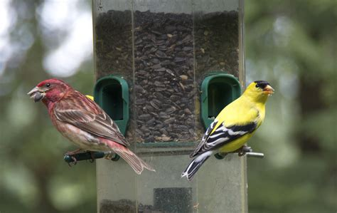 finches at our feeders sideroads of parry sound area