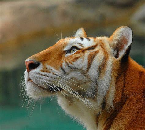 White Tiger Futurepets