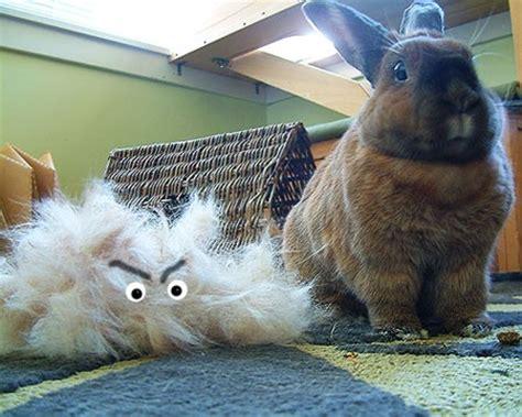 my is shedding a lot my bunny is shedding alot binkybunny house rabbit