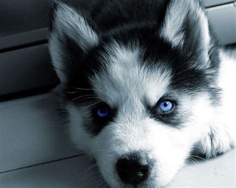 40 Cute Siberian Husky Puppies Pictures  Tail And Fur