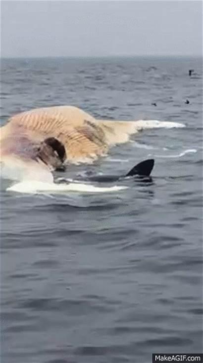 Whale Eating Shark Feeding Foot Whites Carcasses