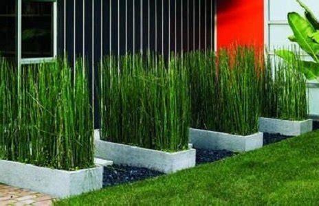 jual tanaman hias bambu air lapak kayyisa fam kayyisafam