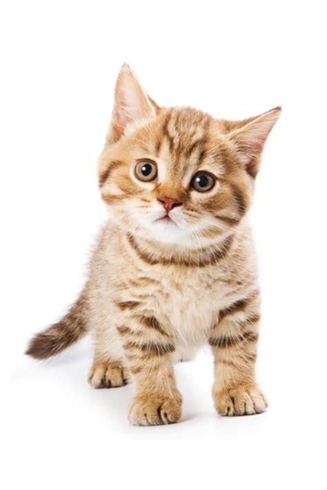 Petmania Kitten Adult Or Senior Cat Breed Buy Adoption