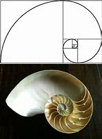 Image result for Golden Mean Nautilus