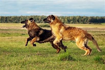 Leonberger Dog Breed Dogs Breeds Leonbergers Maintenance