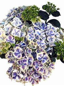 Blau Blühender Bodendecker : bl hende hortensie bawaria blau wei pflanzenklick ~ Frokenaadalensverden.com Haus und Dekorationen