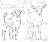 Goat Coloring Goats Nubian Boer Drawing Pygmy Printable Supercoloring Getdrawings Compromise Ausmalbild sketch template