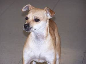 Italian Greyhuahua (Italian Greyhound Chihuahua Mix) Info ...