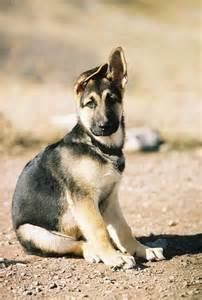 German Shepherd Puppies Ears