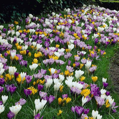 pictures of crocus giant dutch hybrid crocus dirt simple