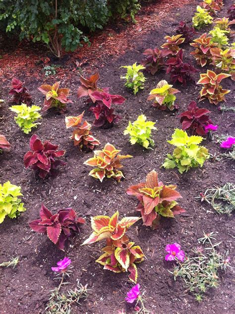 coleus garden zone five and a half coleus revisited should i plant coleus instead of impatiens