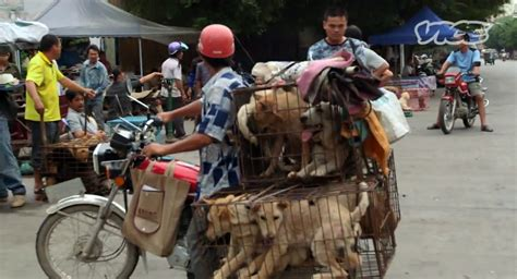 yulin dog meat festival vice report examines annual festival